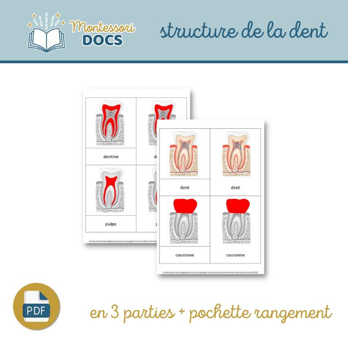 Structure de la dent